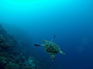 erin-simmons-sea turtle